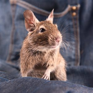 Degu (groung squirrel from Chili)